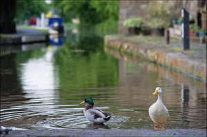 Image of ducks bathing in the canal at Linlithgow